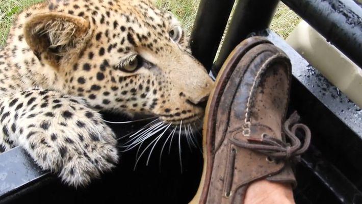 Leopardo brinca com pé de turista em encontro perigoso