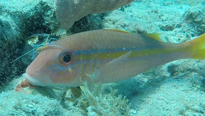 Lavajato camarão – peixes se limpam em relação de mutualismo
