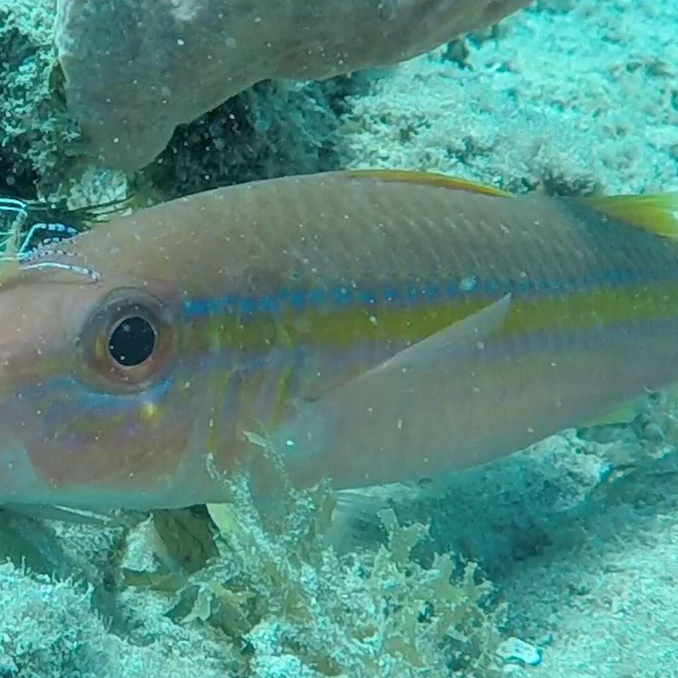Lava a jato camarão – peixes se limpam em relação de mutualismo
