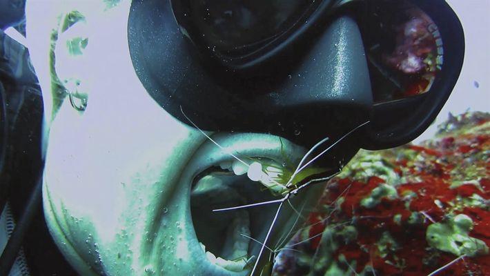 Você deixaria um camarão limpar seus dentes? Este mergulhador deixou