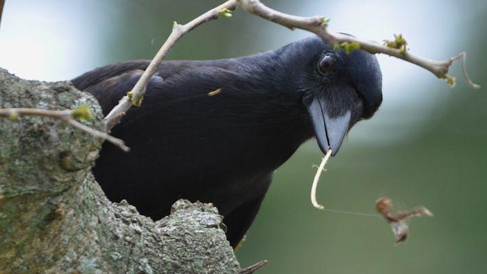 Inteligência das aves – veja como o corvo usa galhos para caçar