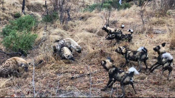 Bando de hienas briga com cachorros-selvagens por presa abatida