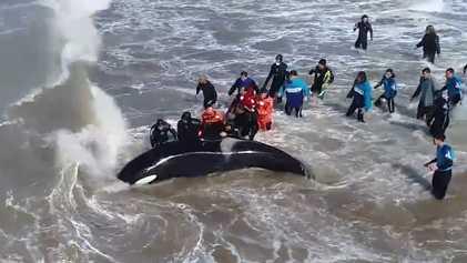 Orca encalhada retorna ao oceano depois de 20 horas de resgate