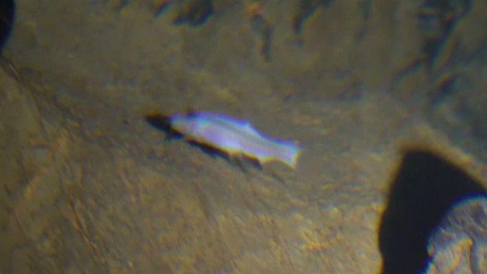 Raro peixe cego encontrado em caverna da China