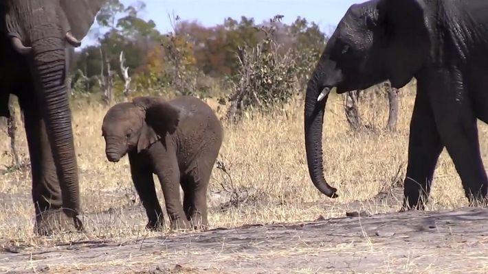 Cena triste: filhote de elefante perde sua tromba