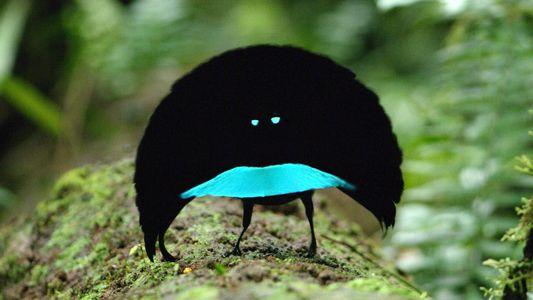 Imagens raras de nova ave-do-paraíso revelam uma estranha dança do acasalamento