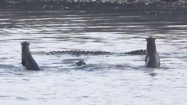 Veja uma família de lontras brigar com um crocodilo sem cauda