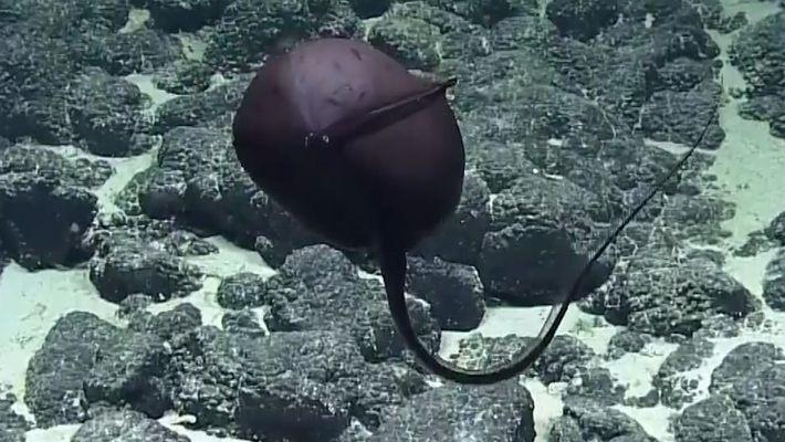 Aparência de peixe bizarro de águas profundas gera surpresa em cientistas