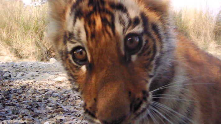 População de tigres cresce em escala surpreendente no Nepal