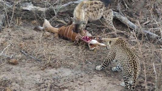 Hiena e leopardo dividiam uma refeição quando uma surpresa acabou com a trégua