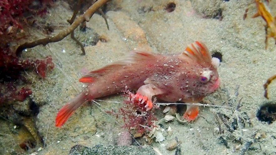 Colônia de raro peixe 'com mão' vermelho encontrada na Tasmânia