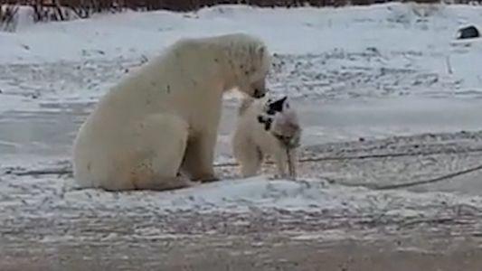 Improvável encontro entre urso-polar e cachorro tem final curioso