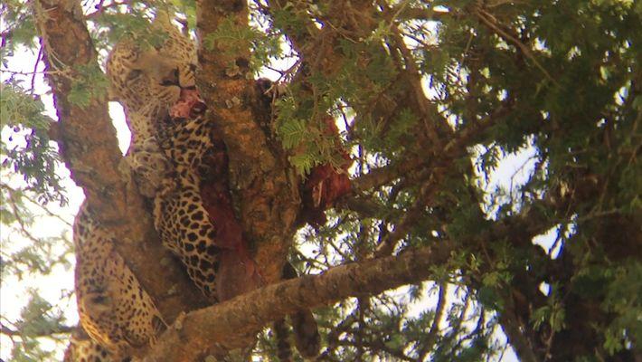 Imagens raras mostram leopardo em ato de canibalismo