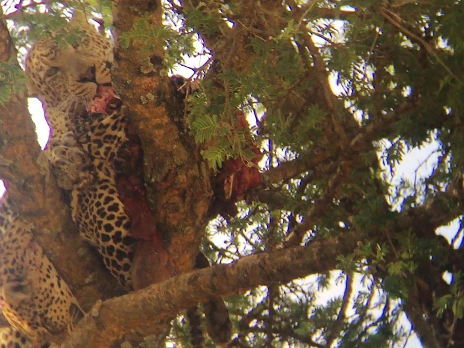Vídeo raro mostra leopardo em ato de canibalismo