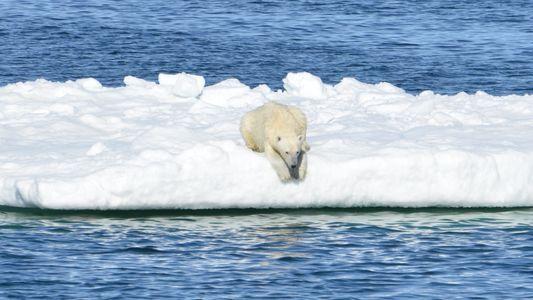 Câmeras revelam como ursos-polares caçam em um Ártico sem gelo