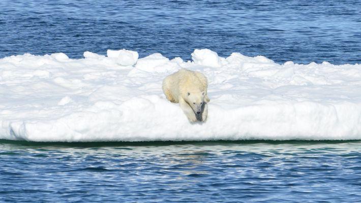 Ursos-polares estão passando fome devido ao derretimento de gelo ártico