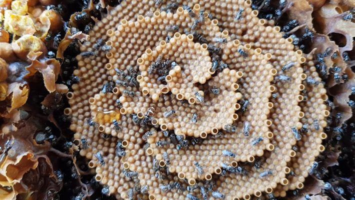 As abelhas que constroem colmeias espiraladas