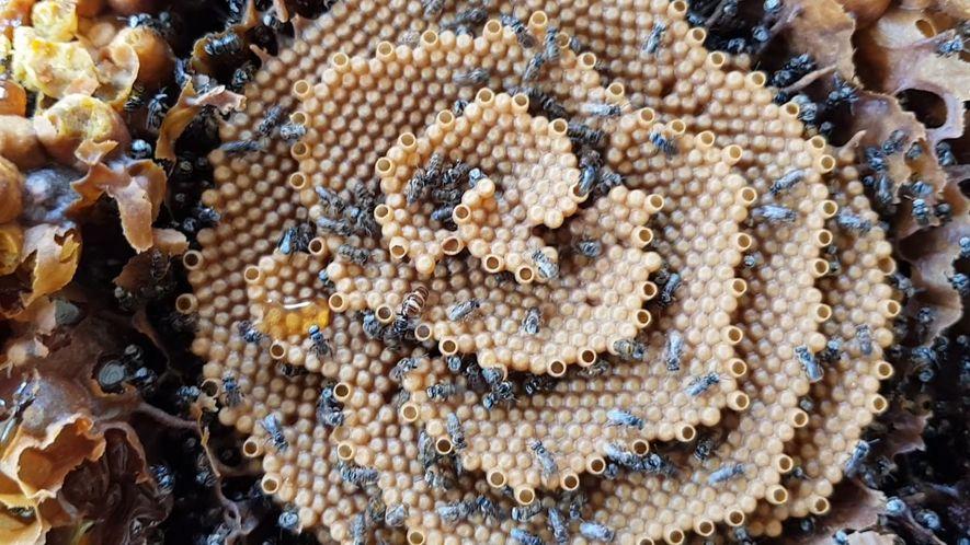 Veja por que estas abelhas constroem colmeias espiraladas