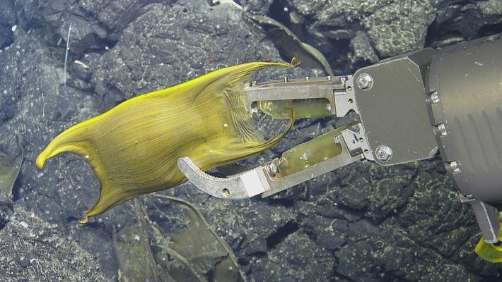 Vídeo raro: criaturas do fundo dos oceanos incubam ovos em fontes hidrotermais