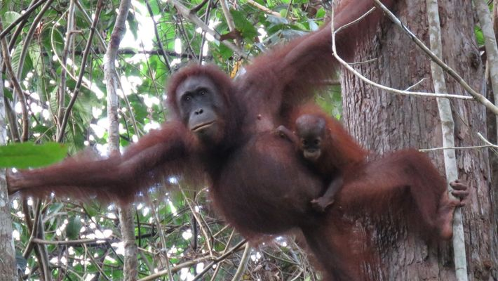 Quase 150 mil orangotangos desaparecidos devido ao desmatamento, azeite de dendê e conflitos humanos