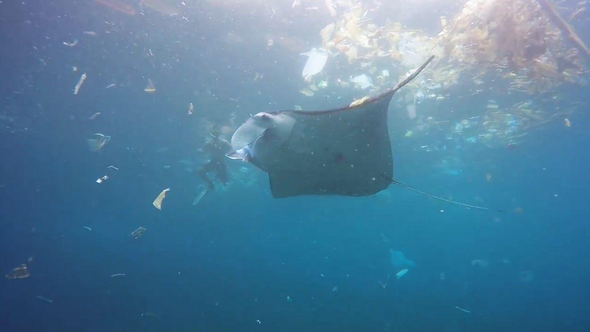 Imagens chocantes mostram raia-manta nadando em mar de plástico