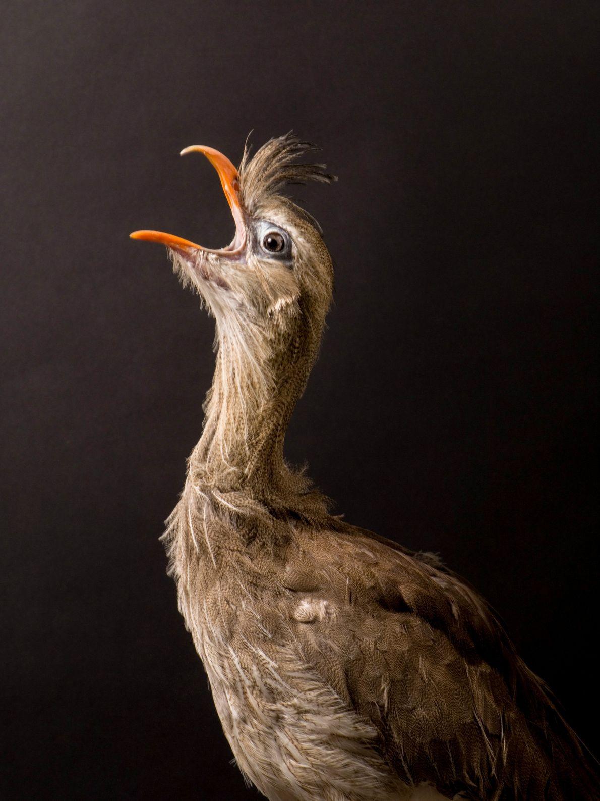 A seriema é uma das aves mais comuns no cerrado, facilmente encontrada em áreas de proteção. ...