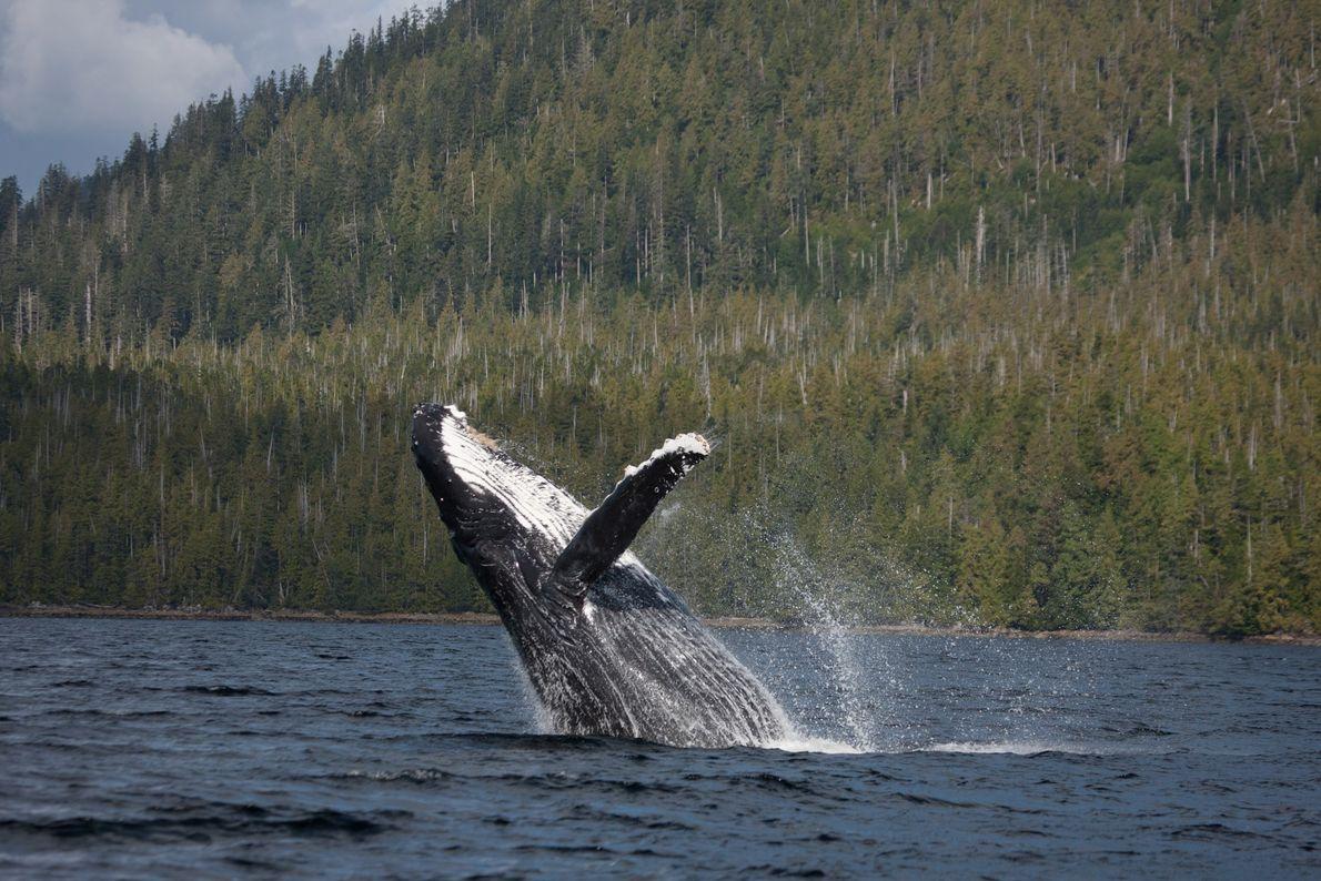 Jubarte salta nas águas da ilha Princess Royal, Canadá.
