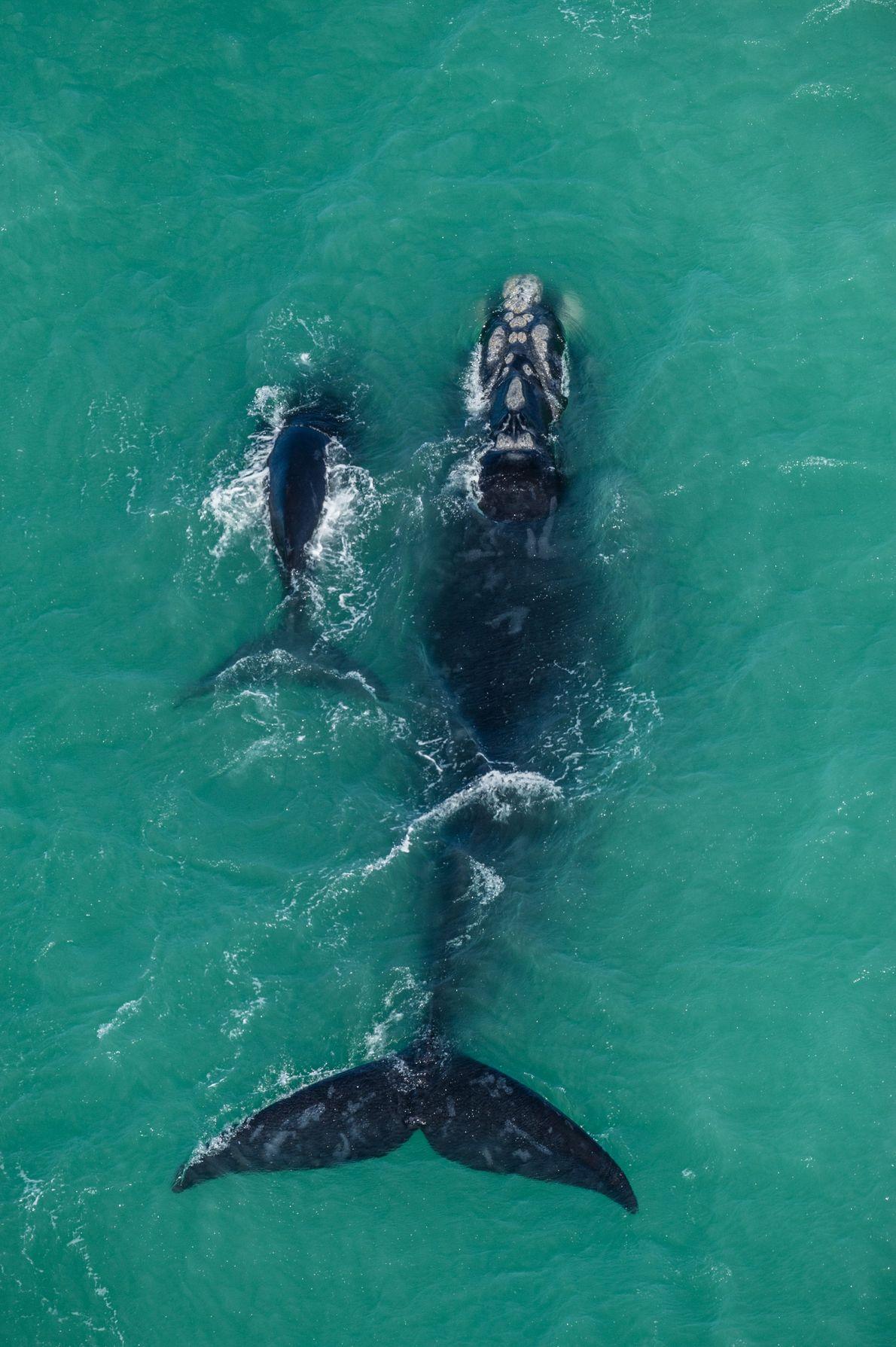 Baleia-franca-austral e seu filhote passeiam por uma típica região de acasalamento e reprodução na Área Marinha ...