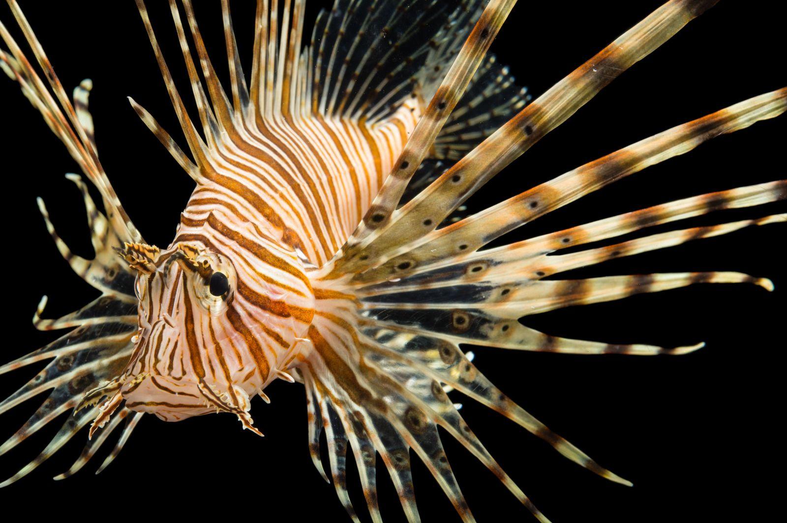 Belíssimo, mas perigoso: peixe-leão tem 18 espinhos espalhados pela região dorsal, com veneno capaz de causar ...