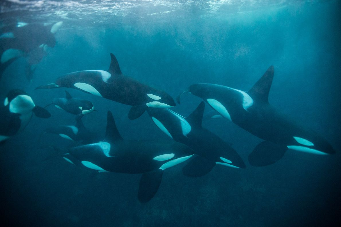 Orcas se juntam para caçar um cardume de arenques na costa de Andfjorden, Noruega.