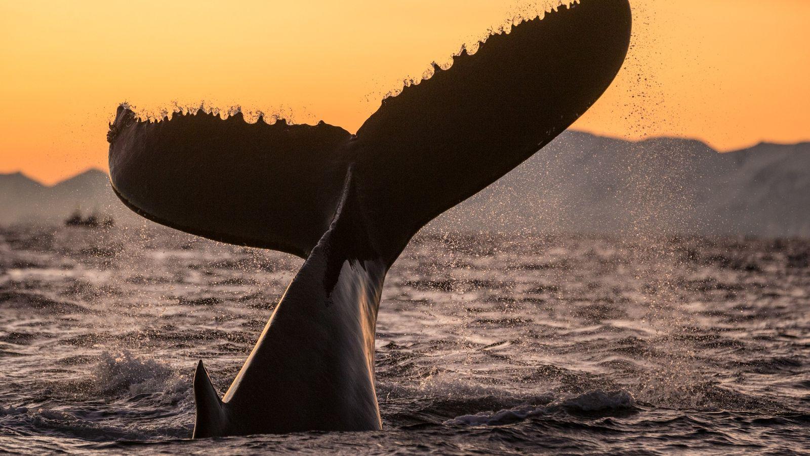 Baleia-cinzenta olha diretamente para câmera enquanto nada na lagoa Santo Ignacio, no estado mexicano de Baja. ...