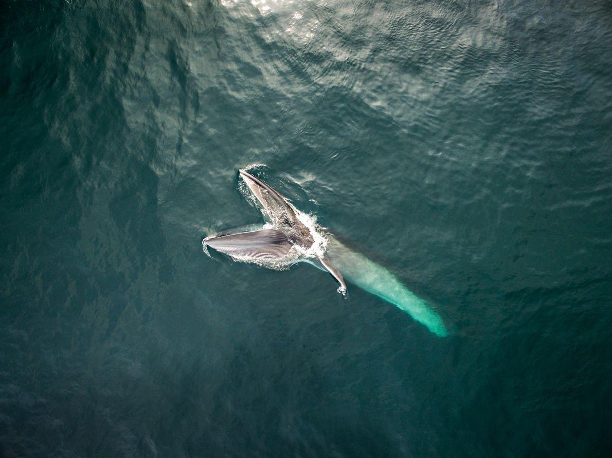 Baleia-sei abre a enorme boca para ingerir água e filtrar alimentos – copépodes e outros tipos ...