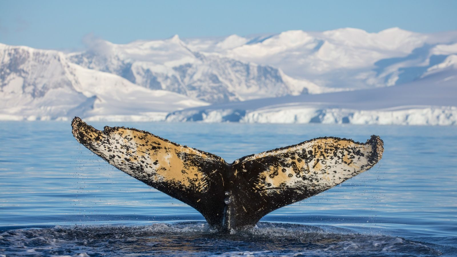 Jubarte se alimenta na baía Wilhemina, na Antártica.