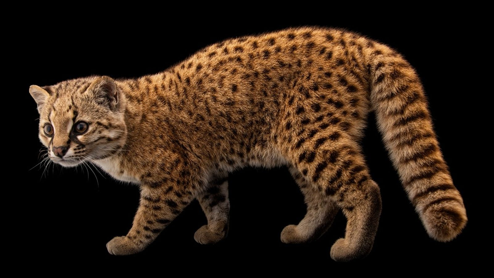 Conheça o gato-chileno, menor felino selvagem das Américas
