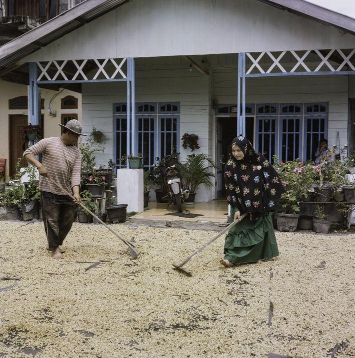 """Os produtores de café de Sumatra utilizam uma técnica de descasque """"úmido"""" para ajudar a acelerar ..."""