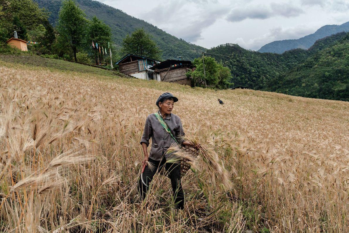 Colheita de cevada na China
