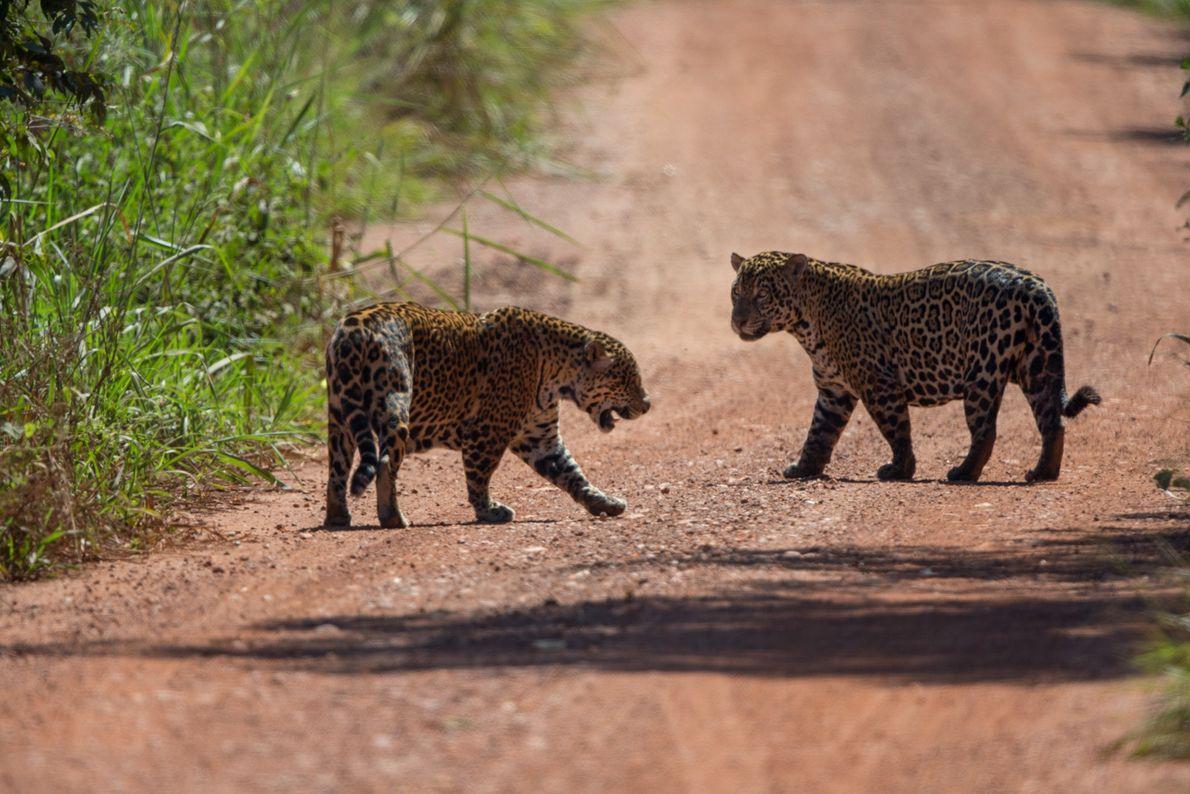 Logo na primeira saída no safári do projeto Onçafari, o grupo avistou um casal de onças ...