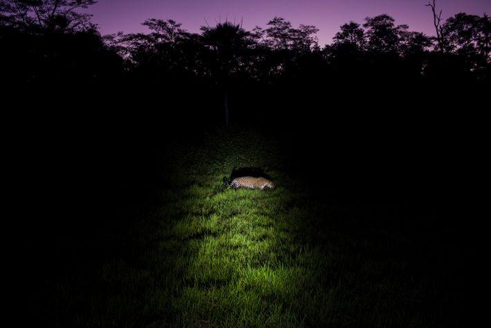 oncafari-pantanal-onca-conservacao