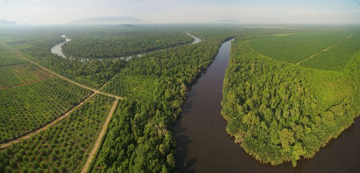 Fileiras de palmeiras tomam o lugar da floresta de orangotango