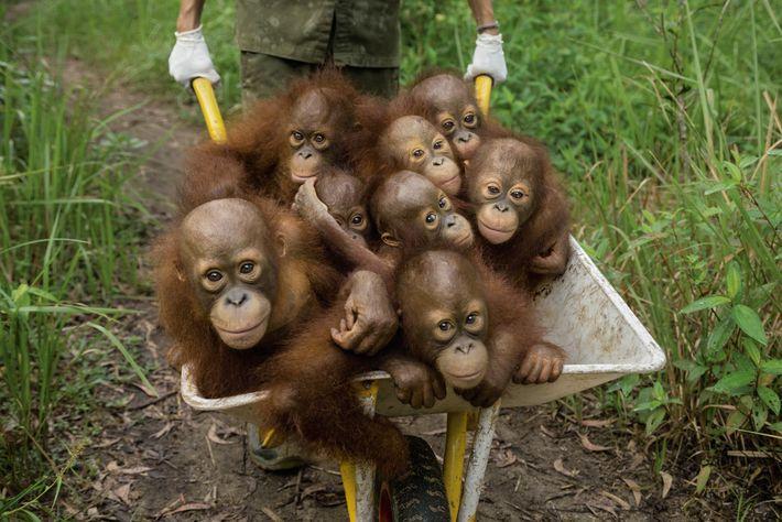 filhotes de orangotango