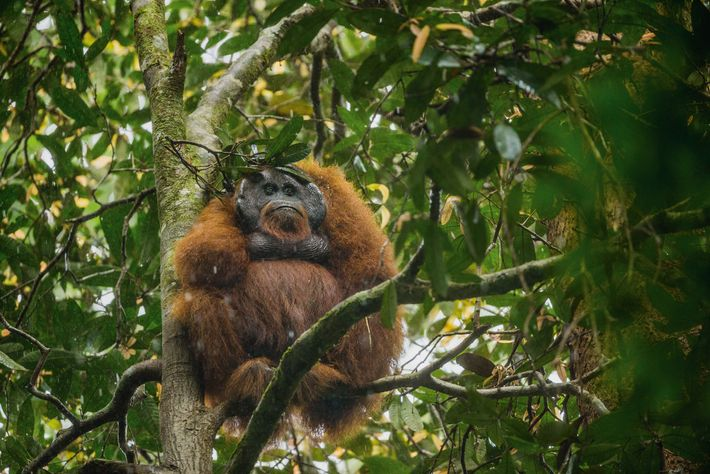 orangotangos-chapeu-de-folha-arvore
