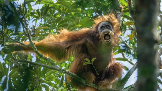 O orangotango-de-sumatra macho desafia um rival mostrando-lhe os dentes e sacudindo galhos