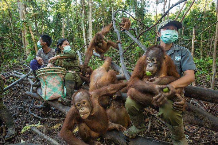 Orangutangos-cuidaos-humanos