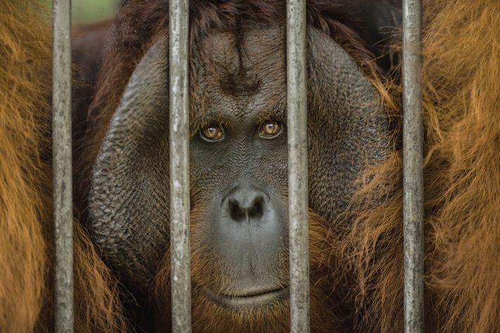 orangotangos-preso-gaiola