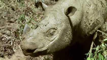 Os Últimos Rinocerontes: Gigante ameaçado