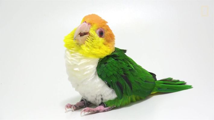 Por que os papagaios estão desaparecendo?