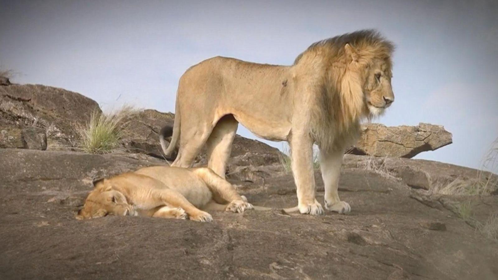 Clube da Luta Animal: Leão x Hipopótamo