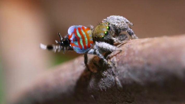 A impressionante aranha-pavão