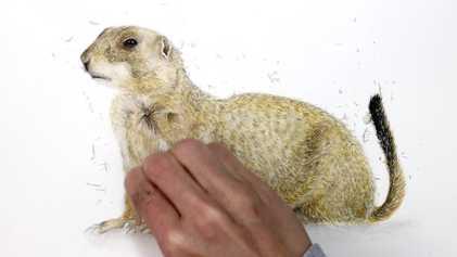 Assista a um cão-da-pradaria-de-rabo-preto ser desenhado em velocidade aumentada