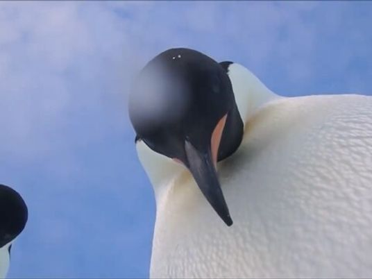 Casal de pinguins curiosos descobre a 'selfie'